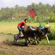 Launching of the 2013 Buffalo races season! Puri Dajuma, Beach Eco-Resort & Spa, West Bali