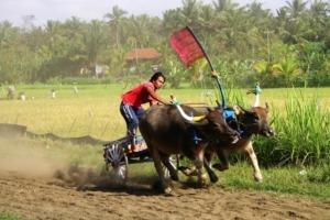 Launching of the 2013 Buffalo races season! Puri Dajuma, Beach Eco-Resort & Spa, West Bali