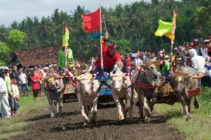 FASCINATING MAKEPUNG BUFFALO RACES Puri Dajuma, Beach Eco-Resort & Spa, West Bali