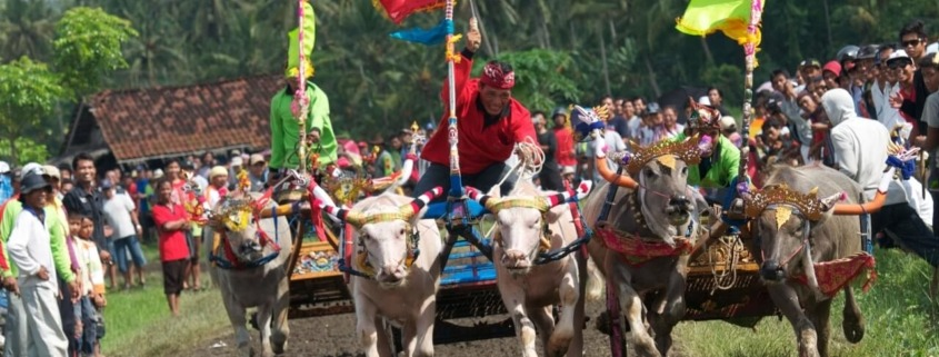 FASCINATING MAKEPUNG BUFFALO RACES Puri Dajuma, Beach Eco-Resort & Spa, West Bali