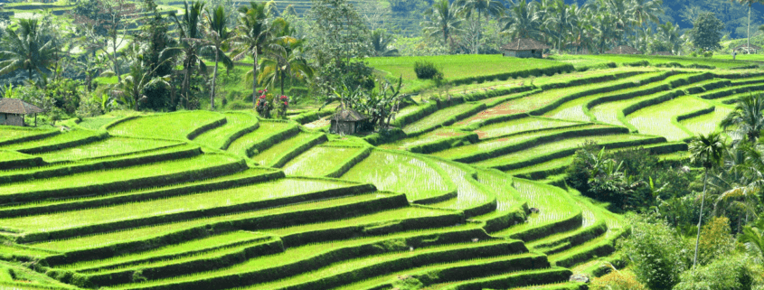 Subak in Bali: a unique rice-field irrigation system exciting to visit Puri Dajuma, Beach Eco-Resort & Spa, West Bali