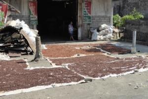 Good harvest this year for clove and cacao in Pekutatan Puri Dajuma, Beach Eco-Resort & Spa, West Bali