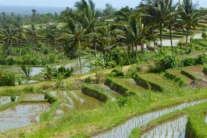Where are the most beautiful rice paddies in Bali? Puri Dajuma, Beach Eco-Resort & Spa, West Bali