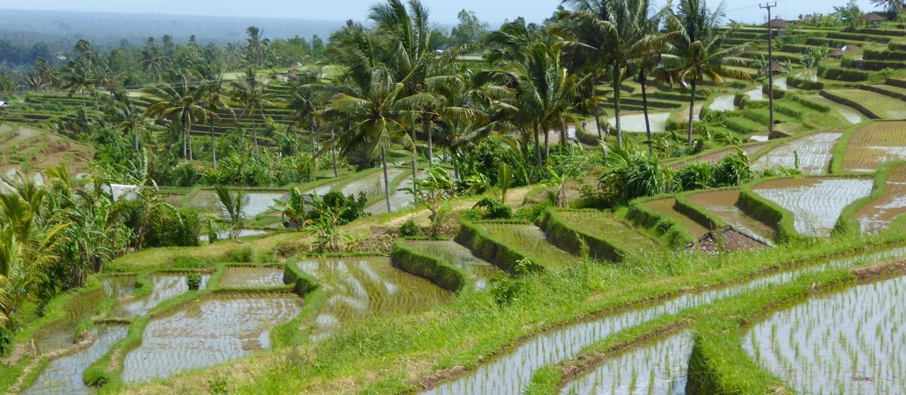 Where are the most beautiful rice paddies in Bali