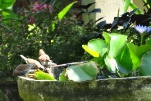 Birds « mandi-mandi » at Dajuma Puri Dajuma, Beach Eco-Resort & Spa, West Bali