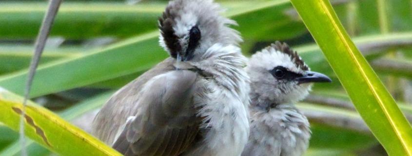 BEAUTIFUL BIRDS Puri Dajuma, Beach Eco-Resort & Spa, West Bali bird