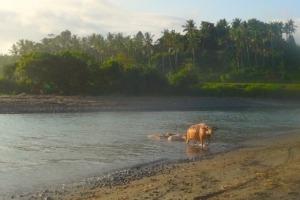 BUFFALOS TAKING THEIR BATH Puri Dajuma, Beach Eco-Resort & Spa, West Bali