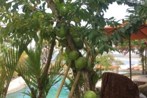 THE SECRET STORY OF THE « BILA » TREE Puri Dajuma, Beach Eco-Resort & Spa, West Bali