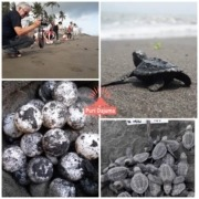 THE SEASON OF OLIVE RIDLEY SEA-TURTLE LAYING EGG Puri Dajuma, Beach Eco-Resort & Spa, West Bali west bali tours