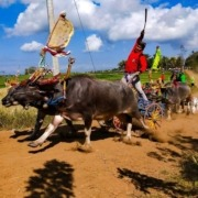 MAKEPUNG: THE AMAZING BUFFALO RACES OF WEST BALI Puri Dajuma, Beach Eco-Resort & Spa, West Bali dajuma tours