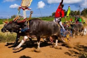 MAKEPUNG: THE AMAZING BUFFALO RACES OF WEST BALI Puri Dajuma, Beach Eco-Resort & Spa, West Bali dajuma tours