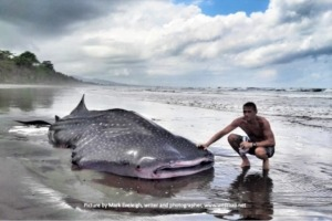 STRANDING OF A WHALE SHARK, picture by Mark Eveleigh, writer and photographer, www.westbali.net