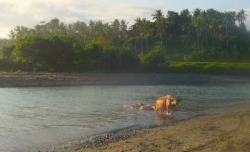 BUFFALOS TAKING THEIR BATH Puri Dajuma, Beach Eco-Resort & Spa, West Bali