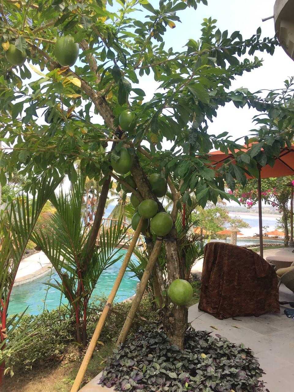 THE SECRET STORY OF THE « BILA » TREE Puri Dajuma, Beach Eco-Resort & Spa, West Bali